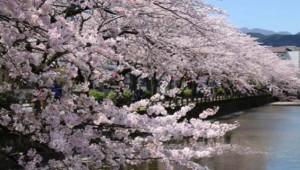 小田原城址公園 花見 お堀