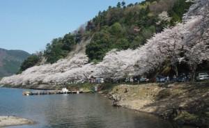 海津大崎 桜 満開