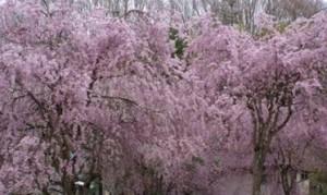 三春滝桜 紅枝垂れ桜