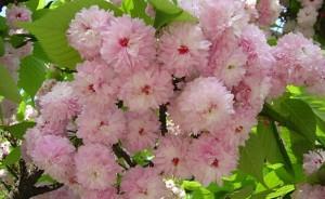 兼六園菊桜 花