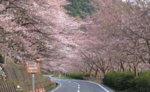 奥琵琶湖パークウェイ 桜