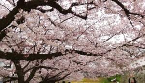 舞鶴公園 桜 花見