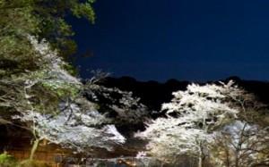 吉野山 桜 ライトアップ