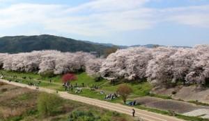 淀川河川公園背割堤地区 桜 混雑