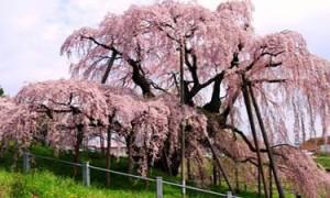 三春滝桜 満開
