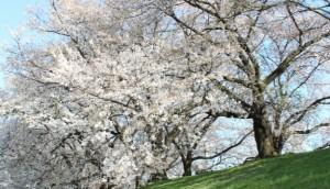 桜 満開 土手
