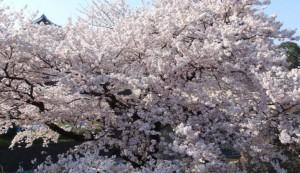 兼六園 桜 満開