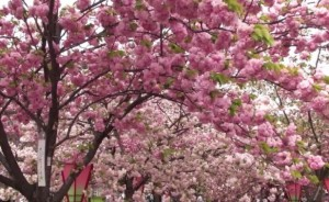 大阪造幣局 桜の通り抜け 満開
