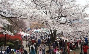 飛鳥山公園 桜 お花見 混雑