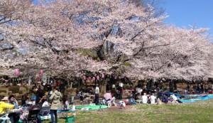 淀川河川公園背割堤地区 桜 お花見