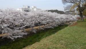姫路公園 桜