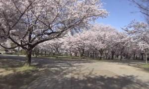 大阪 市民の森 桜