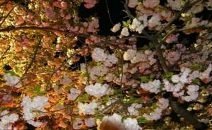 大阪造幣局 桜の通り抜け ライトアップ