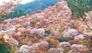 吉野山 桜 中千本