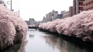 大岡川 桜 満開
