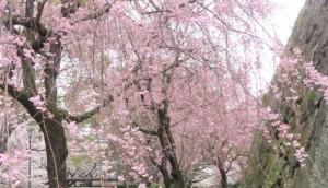 舞鶴公園 桜 満開