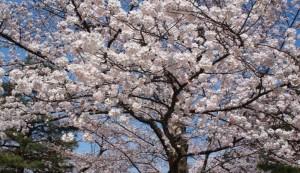 兼六園 桜の木