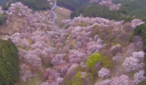 吉野山 桜 上千本