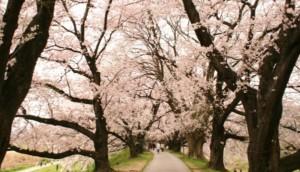 淀川河川公園背割堤地区 桜のトンネル