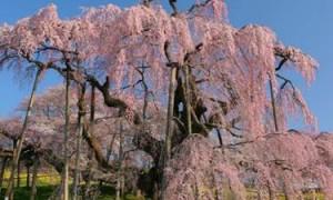三春滝桜 青空 満開