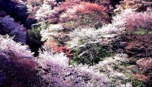 吉野山 桜 奥千本