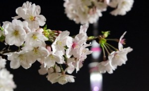 桜の花 城