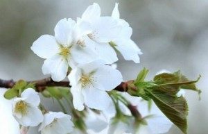 桜 白い花