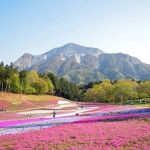 羊山公園芝桜の丘2018!開花状況と見ごろ。アクセス方法は?
