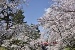 弘前城 弘前公園 桜