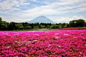 富士山 満開の芝桜