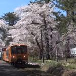 金木桜まつり(芦野公園)2017の開花状況と見頃。花火の日時は?