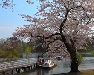 芦野公園 桜 池