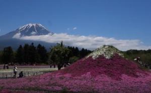富士山とミニ富士山と芝桜
