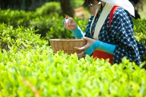 茶摘みをする女性