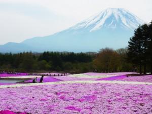 富士山と満開の芝桜