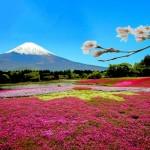 富士芝桜2020の見頃と開花!芝桜まつりや屋台は?混雑やペット同伴は?