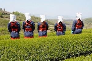 茶摘みの女性たち