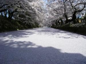 弘前公園 花筏 桜