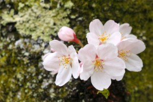 桜 ソメイヨシノ 古木