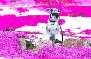羊山公園 芝桜 犬