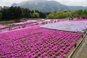 羊山公園 芝桜 武甲山