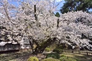 弘前公園 最古 ソメイヨシノ