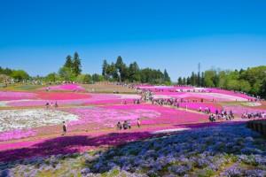 羊山公園 芝桜 満開