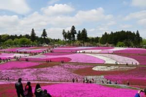 羊山公園 芝桜 花絨毯