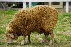 羊山公園 羊