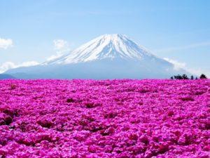 富士山と満開のピンクの芝桜