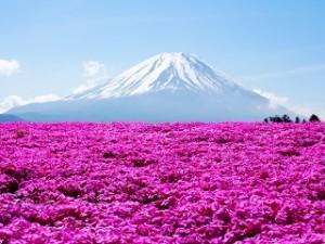 富士山 芝桜 満開