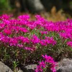 芝桜の庭・プランターでの育て方!植え方や増やし方は?