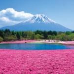 富士芝桜まつり2017の見頃と開花状況。混雑や駐車場は?
