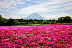 富士山と一面に広がる芝桜